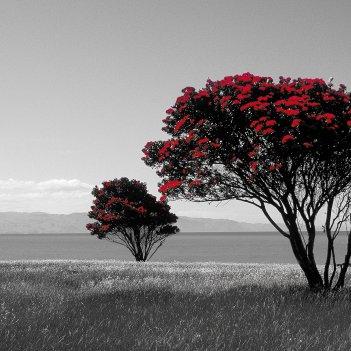 East Cape Pohutukawa