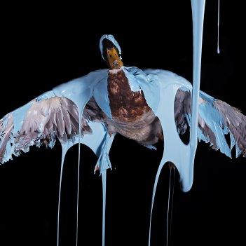 Blue Domestic Duck