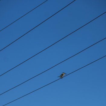 Kingfisher wired